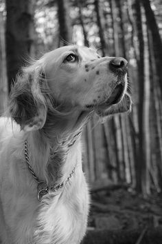 English Setter Collet