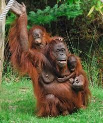 Image result for Apenheul Monkey, Grandkids, Holland, Animals, Image, The Nederlands, Jumpsuit, Animales, Animaux