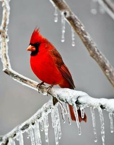 Cardinal in an ice storm