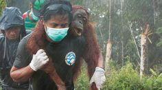 Auf der Palmölplantage der Firma Bumitama Gunajaya Agro (BGA) auf Borneo sind mehrere Orang-Utans von Bulldozern bedroht. Bitte fordern Sie den Stopp der Regenwald-Abholzungen und Palmöl-Importe. Bitte unterschreiben Sie unsere Petition: https://www.regenwald.org/aktion/914/sterben-fuer-palmoel-nein-danke