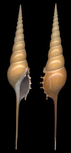 Fractal spiral shells - Tibia fusus from the Philippines, 19cm.