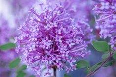 Lilacs by B.L. Collins on 500px.
