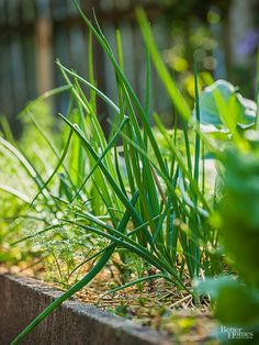 Growing green onions is great for those who like adding flavor to their salads and other recipes. Follow these tips to learn the best ways to grow green onions in your vegetable garden.