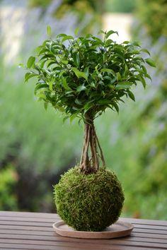 Kokedama+Ficus+benjamina+Kokedama,+v+doslovném+překladu+mechová+koule,+je+moderní+trend+v+pěstování+rostlin,+který+pochází+z+Japonska.+Rostlina+není+zasazena+v+květináči,+ale+vyrůstá+z+kulovitého+mechového+balu.+Kokedama+se+staví+na+talířek+či+misku,+nebo+se+vyrábí+se+síťkou+a+zavěšuje+se+do+prostoru.+Péče+o+kokedamu+není+složitá,+protože+pro+rostlinu+platí+...