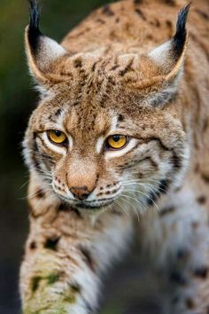 For This Lynx, His Mind is on Getting Some Food.