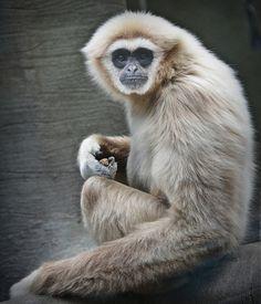 Gibbon by ihughes22, via Flickr
