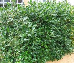 Holly (Ilex) hedge