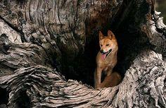 YAMBULLA STATION: Dingoes