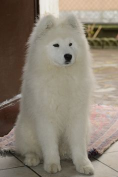 Hairstyles For Women With Glasses Most Beautiful Dogs, Animals Beautiful, Cute Dogs And Puppies, I Love Dogs, Samoyed Dogs, Siberian Samoyed, Animals And Pets, Cute Animals, Husky