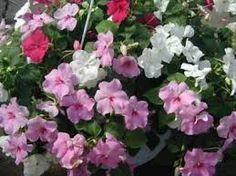 Resultado de imagen para plantas alegria del hogar fotos