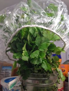 Keep cilantro fresh for WEEKS with this trick! Could also use with methi (fenugreek) Drink Recipes, Mexican Food Recipes, My Refrigerator, Healthy Foods, Healthy Recipes, Little Birdie, Growing Herbs, Bright Green, Glass Jars