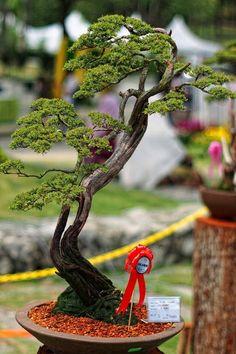 Baeckea frutescens bonsai