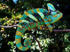 Camaleones como mascotas: artistas del camuflaje