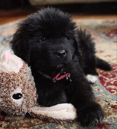 Ignatius, our Newfoundland puppy, at eight weeks.