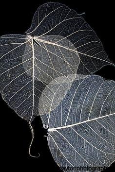 Skeleton leaf - unique art from $25.00