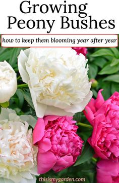 See how to plant, grow and maintain peonies in your landscape. Peonies have one of the most intricate and attractive flowers you will ever find on a perennial plant, and with a few simple tips, you can keep them blooming for decades! Peony Bush, Hydrangea Bush, Peonies And Hydrangeas, Peonies Garden, Peonies Bouquet, Peony Flower, How To Plant Peonies, Purple Peonies, White Peonies