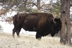 8 Best Buffalo Stampede Images Buffalo Bison American