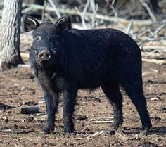"""CHOCTAW PIG Almost extinct breed. Very hardy. Very good foragers. Choctaw hogs have fused toes forming a """"hoof"""", like the Mulefoot."""