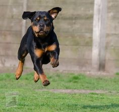 Rottweiler Names, Rottweiler Dog Breed, Dog Zoomies, Asian Dogs, Smartest Dog Breeds, 15 Dogs, Education Canine, Dog Training Techniques, Pet Life