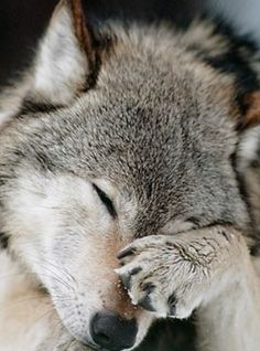 wolf facepalm decisions decisions decions Mon Dieu! How adorable is this Wolf... am in love if I only were a wolf too then life would be perfect... just need to keep safe from these humans....