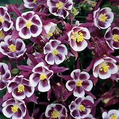 'Winky Red & White' is a new member of the much loved Winky Columbine series. This Columbine produces beautiful blooms of rosy red and white above dark green foliage. Reaches a height of 14-18 inches with a spread of 12 inches. Great as a border or in a container. Zones 3-10.
