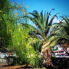#beautiful #tree #palmtrees #sunshine #yellow #flowers #nature #instanature #naturelovers #blue #sky #blossom #gorgeous #impressive #shade #spanish #sun #park