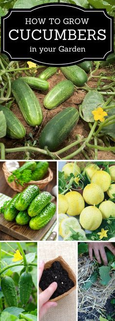 Growing Vegetables Growing Cucumbers - - Everybody loves cucumbers! They are so crispy and tasty, and homegrown cucumbers taste even better. You can easily grow them in your garden, greenhouse or Growing Veggies, Organic Gardening Tips, Vegetable Gardening, Fruit Garden, Organic Vegetables, Container Gardening, Christmas Parties, Cucumber, Crowd