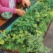 Growing Herbs in Windowboxes