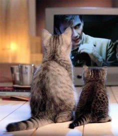 Cats watching Doctor Who, or more specifically, cats watching David Tennant cuddle kittens.