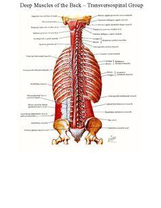 deep back muscles2