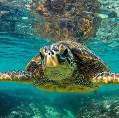 Clark Little Photography - Sea Turtles in Hawaii Cute Turtles, Sea Turtles, Clark Little Photography, Tortoise Turtle, Turtle Love, Tortoises, Underwater World, Marine Life, Sea Creatures