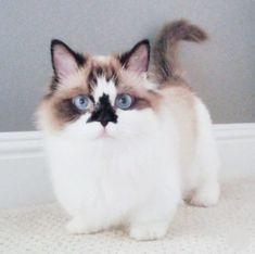 Voici Albert, le chat munchkin le plus mignon avec 450 000 admirateurs Cute Cats And Kittens, I Love Cats, Crazy Cats, Cool Cats, Kittens Cutest, Baby Kittens, Kittens Meowing, Funny Kittens, Kittens Playing