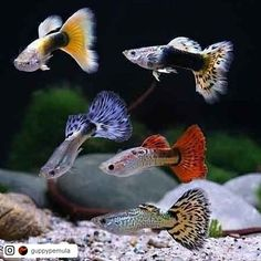 Types of Guppies - The guppy (Poecilia reticulata) also known as millionfish and rainbow fish is one of the world's most widely distributed tropical fish and one of the most popular freshwater aquarium fish species. Tropical Freshwater Fish, Tropical Fish Aquarium, Tropical Fish Tanks, Freshwater Aquarium Fish, Aquarium Fish Tank, Jellyfish Aquarium, Pretty Fish, Beautiful Fish, Beautiful Pictures