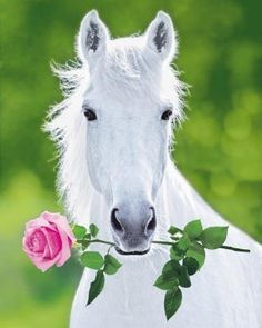 White Horse (Holding Pink Rose) Art Poster Print - 16x20 by Poster Discount, http://www.amazon.com/dp/B003NH6ABU/ref=cm_sw_r_pi_dp_LaSesb03JG7DE