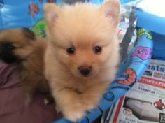 Cute Pomeranian baby puppies up for adoption!