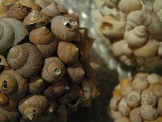 """""""Pagoda"""" (CALYPTRAEIDAE) shell orb -- 15cm"""