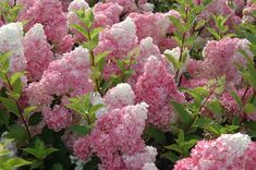 We just got a new hydrangea for one of our porch beds and I'm really excited about it. It is Hydrangea paniculata 'Vanilla Strawberry' a. Hortensia Hydrangea, Hydrangea Flower, Pink Flowers, Hydrangea Garden, Hydrangea Shrub, Hydrangea Landscaping, Fall Flowers, Cut Flowers, Limelight Hydrangea