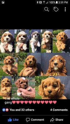 Teddy Bear, Dogs, Animals, Animales, Animaux, Pet Dogs, Teddy Bears, Doggies, Animal