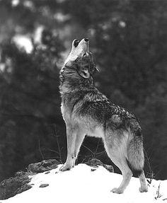 #Aullido #Lobo #Soledad