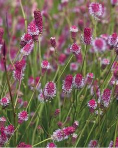 "Sanguisorba officinallis 'Pink Tanna' Zone 4a (-30 to -35F) ""Light pink catkin-like flowrs hed erect for a long period in mid-summer. Forms clumps of handsome foliage. Flower spikes to 30"" tall. Easy to grow in rich soil and very tolerant of heavy clay soils. To 2' wide, deciduous in winter. . . ."" (Description by www.xeraplants.com.)"