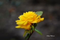 YELLOW ROSE - null