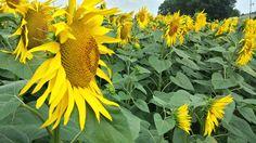 campo di #girasoli field of #sunflowers