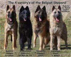 The four varieties of the Belgian Shepards
