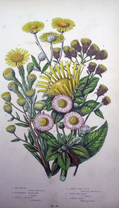 Excited to share the latest addition to my #etsy shop: 1899 - Exquisite Garden Flowers Vegetables - DAISY - Original Lithograph Print. Natural History http://etsy.me/2EqXKMe #art #print #lithograph #antiqueprint #originalprint #https://www.etsy.com/uk/AntiqueORIGINALS