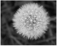 #blackandwhitephotography is classic and timeless and a perfect gift for any occasion. This image was taken in my own yard. I had always wanted to do this image. I spent years trying to get it right. Finally did it.  #fineart #supportartists   http://fineartamerica.com/featured/a-wish-kelly-paal.html?newartwork=true