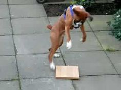 Boxer has the silliest reaction to a piece of wood. This will make you smile! (VIDEO) » DogHeirs | Where Dogs Are Family « Keywords: Boxer, wood, piece of wood, jumps