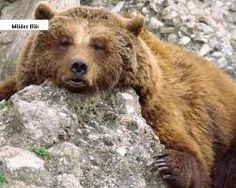 Bären einfach faszinierende Tiere