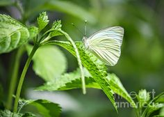"""White Wings"" by Carol Groenen  #whitebutterly #whiteinnature #butterflies #carolgroenennature  carol-groenen.artistwebsites.com"