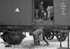 Loading evacuated cattle into railway wagons