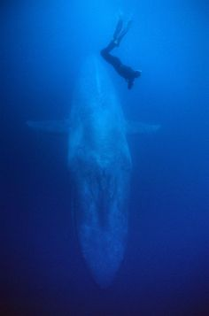 A blue whale dives with a diver beside highlighting the enormity of the animal (Photo: Mike Johnson)